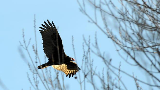 A turkey vulture (Cathartes aura) in flight above Creekbridge.