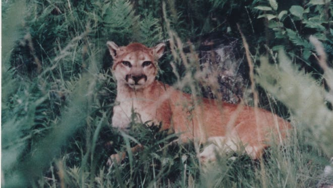 Jim Deutsch took a photo of a cougar in Alcona County in 1997.