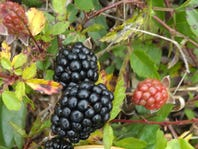 Cooking School: A toast to spring with nature's gift — the dewberry