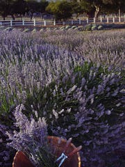 Rows of sweet-smelling lavender transport you to the south of France.