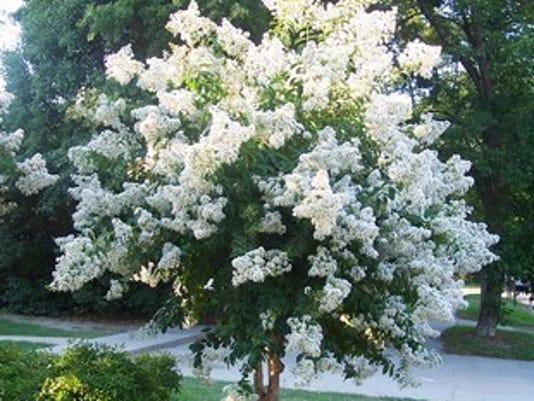 Natchez Crape Myrtle full bloom.jpg