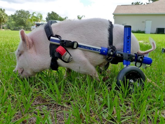 wheelchair pig