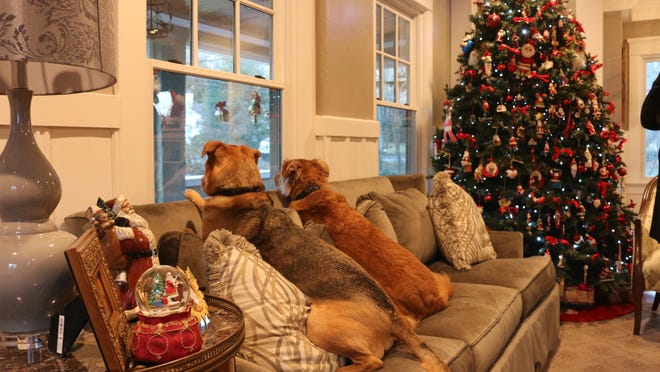 Amid a beautiful backdrop of the Santa-laden Christmas tree and a 100-year-old house fully decked out for the Holiday House Tour, the Falcos' dogs (Jackson, long-haired reddish, and Scooter, short hair) patiently await the arrival of Holiday House Tour visitors and Santa himself.