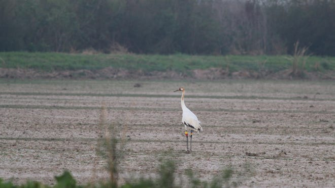 This Feb. 14, 2017, photo provided by the Louisiana Department of Wildlife and Fisheries shows the first whooping crane to hatch in Louisiana's wild since 1939 in Jefferson Davis Parish, Louisiana. The youngster, a female, turns 1 on April 11, 2017. She is on her own, since her parents drove her off so they could begin their second nesting season. The exact location is withheld to protect the endangered bird.