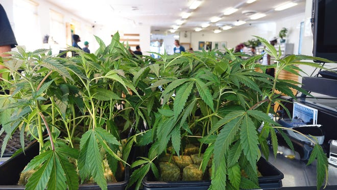 Trevor Hughes, USA TODAYMarijuana clones sit on a counter inside a medical marijuana dispensary in Oakland. Marijuana clones sit on a counter inside a medical marijuana dispensary in Oakland, Calif., in this April 2017 photo. The dispensary, Harborside, says it serves about 1,000 patients daily.