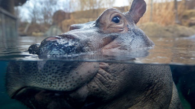 Fiona the hippo, who knows exactly what a first down is.