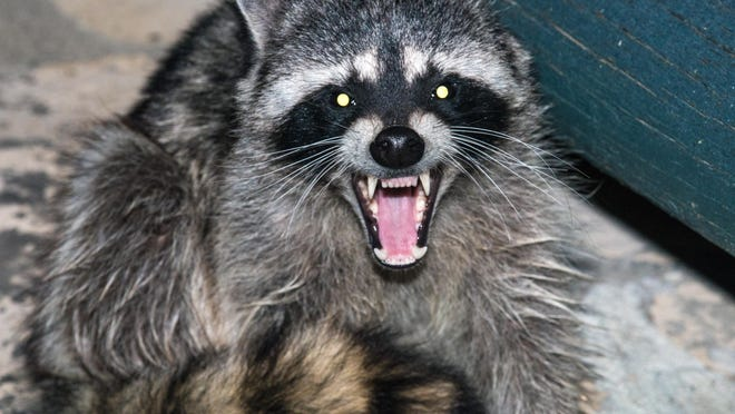 Raccoons have been known to force their way into places they're not supposed to be, such as this unidentified, unhappy camper. But in the case of the invader of a Waukesha garage, the culprit at least proved to be more benign than the two-legged variety of burglar.
