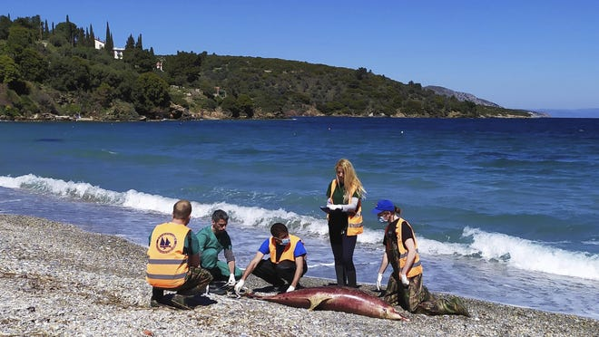 """A Greek marine conservation group says a """"very unusual"""" number of Aegean Sea dolphin deaths over recent weeks may be linked to Turkish naval exercises in the area."""