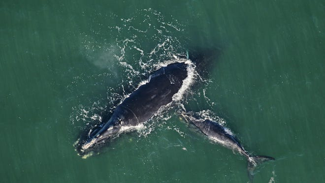 Right whale Catalog #2223 'Calvin' and calf sighted on February 3, 2020 approximately 8 nautical miles off Blackbeard Island in McIntosh County by researchers with the Clearwater Marine Aquarium Research. Catalog #2223 is 28 years old and this is her fourth calf. Her last calf was born in 2015. Credit: Clearwater Marine Aquarium Research, taken under NOAA permit 20556-0.