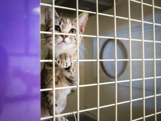 An adoptable cat looks out of its kennel at the Muncie Animal Care and Services facility.