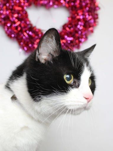 Oscar is a 12-year-old male senior cat who was surrendered to Young-Williams Animal Center. He needs a good home to retire and be loved in. For more information, call 865-215-6599 or visit www.young-williams.org.