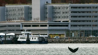 Gotham, a humpback whale, was spotted on Nov. 20 near the NY Waterway Ferry Terminal in Weehawken.