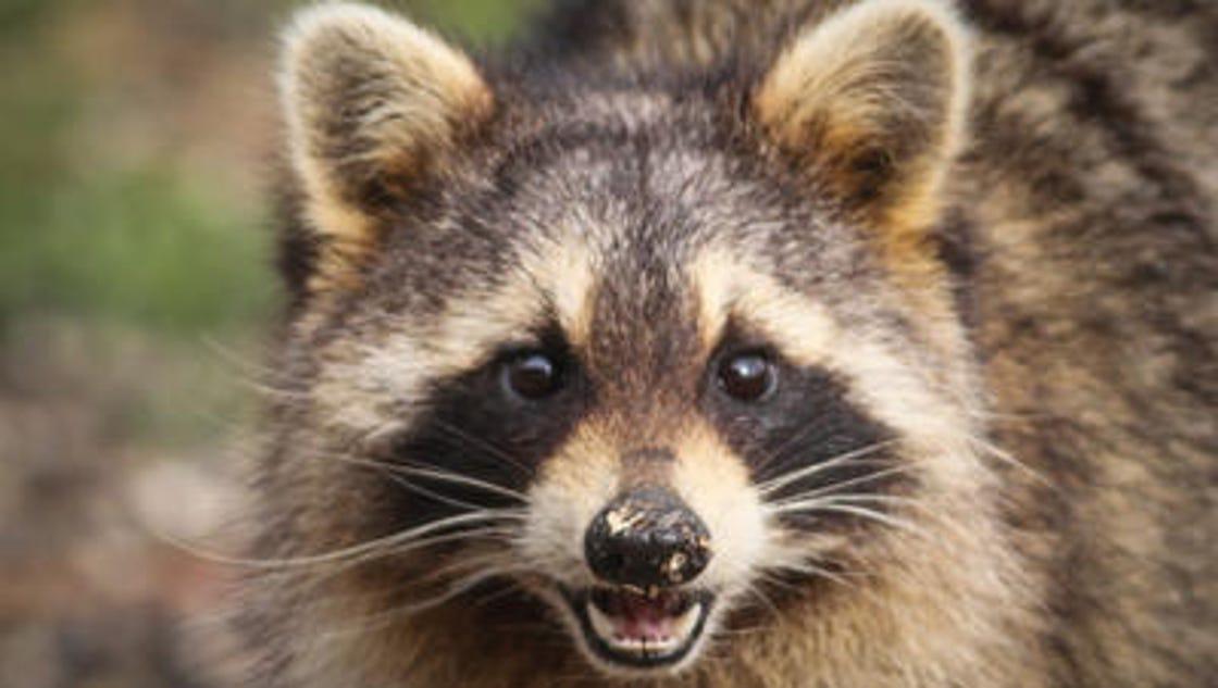 Rabid raccoon found in East Brunswick Raccoon With Rabies