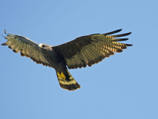 The zone-tailed hawk mimics the flight of a vulture