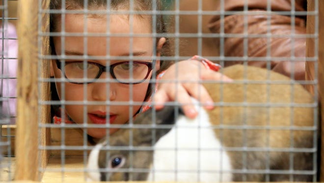 Annabelle Griffin watches her rabbit as she waits for the Breeding Rabbit Show during the Nueces County Junior Livestock Show on Wednesday, Jan. 18, 2017, at the Richard M. Borchard Regional Fairgrounds in Robstown.