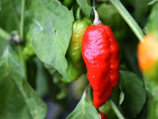 A ghost pepper growing at Gene Olczak's farm in Bristol.