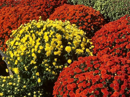 Belgian mums also do great in the landscape where they