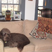 In this April 2014 photo provided by B.L. Ochman, Ochman's dog Benny, an 80-pound labradoodle, rests on a sofa at Audrey's Farmhouse in Wallkill, N.Y. The bed and breakfast offers pet-friendly lodging in an historic country inn with feather beds and gourmet breakfast. Hotels ranging from major chains to small outposts are capitalizing on the wave of travelers who bring their dogs, some by charging for perks that pamper pets and others by expanding fees. (B.L. Ochman via AP)