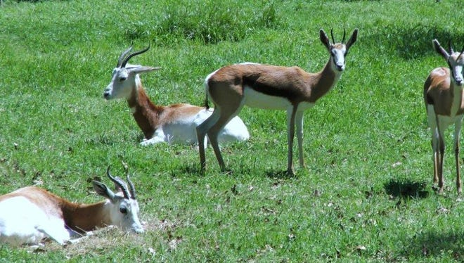 One addra gazelle and five springbok at the Jackson Zoo were attacked by feral dogs and killed Friday morning,