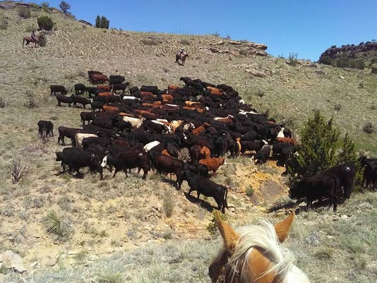 Moving cattle.