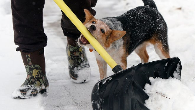 "Seven-month-old Heeler-Australian Shepherd puppy ""Lucy"" enjoys driving her owner crazy during snow shovelling in the Sugar House neighborhood of Salt Lake City, Utah, Monday Dec. 29, 2014. Transportation officials say commuters need to give themselves more time as wintery weather hits northern and central Utah roadways. The Utah Department of Transportation says snow, slush and patchy ice could cause problems for drivers on Monday morning and running through early Tuesday. (AP Photo/The Salt Lake Tribune, Al Hartmann)"