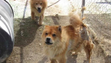 Chows with mats on body and chewed ears caused by flies.