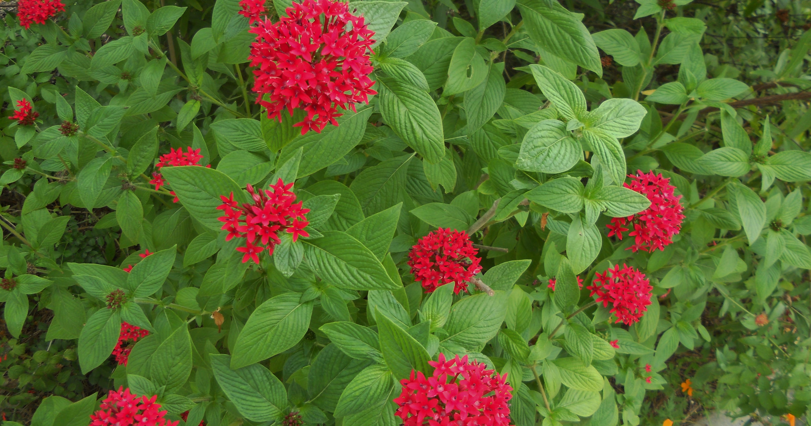 Pentas Offer Year Round Show Of Color
