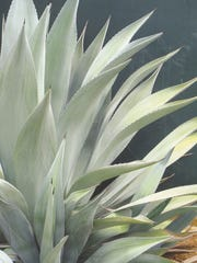 This full page spread of the Rancho Soledad form of Agave franzosinii against a steel gray wall.