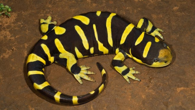 Tiger salamanders have sturdy legs, long tails and short snouts.
