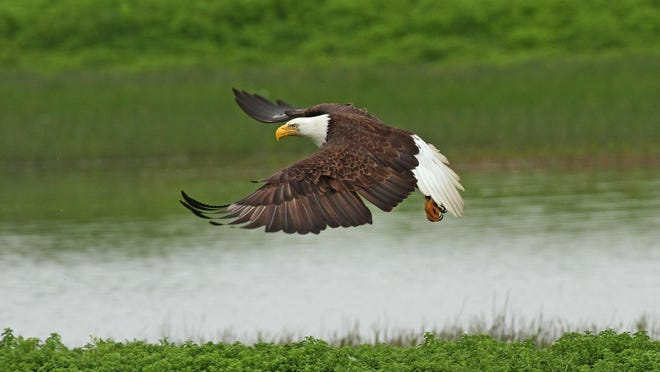 One of the most significant findings from the Salem count over the past several of years has been a steady rise in the number of bald eagle sightings. The first sighting of a bald eagle on a Salem count was in 1984, 12 years after a nationwide ban was placed on DDT. Last year, 21 bald eagles were recorded.