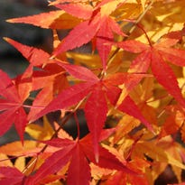 Get leaf peeping! Maples lead the fall color lineup in Kentucky this year