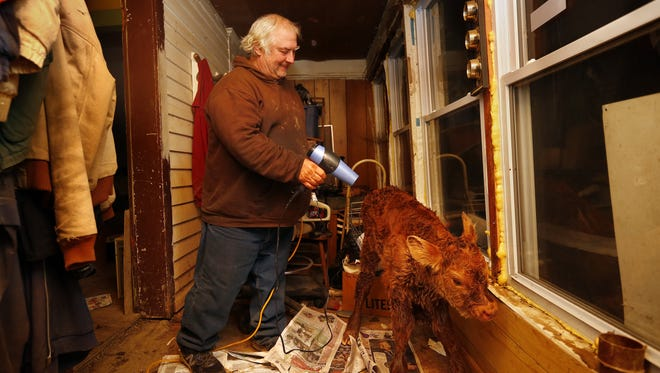 Craig Manning, 60, helps dry off a newborn calf at the Anderson farm south of Brighton on Jan. 12. Roy and Bob Anderson brought the calf inside to warm him up after he was born on a frigid night. The bachelor farmers called their friend to bring them a blow dryer to dry off the still-wet calf.