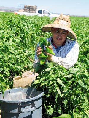 Jesus Soto harvests green chile by hand in Hatch, N.M. Robin Zielinski Sun-News
