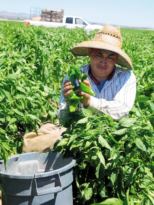 Robin Zielinski   Sun-News   Jesus Soto harvests green chile by hand in Hatch, N.M.
