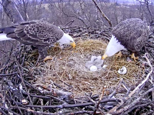 Bald eagles Freedom and Liberty feed their newly hatched eaglets, Honor and Justice, in Codorus State Park, York County, last week. This image was taken from the eagle cam installed by HDOnTap and the Pennsylvania Game Commission.