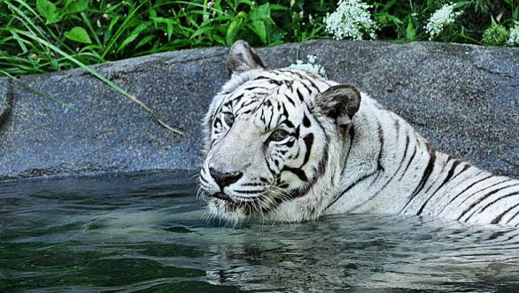 Akere, a 21-year-old male white tiger, died Thursday after recently being diagnosed with non-treatable oral cancer.