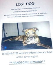 Augie is a 45-lb, 3-year-old Plott Hound missing since