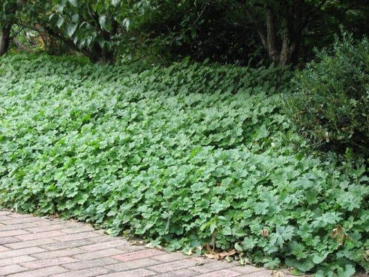 06 01 2015 Olbrich Botanical Garden Bikoa geranium.jpg