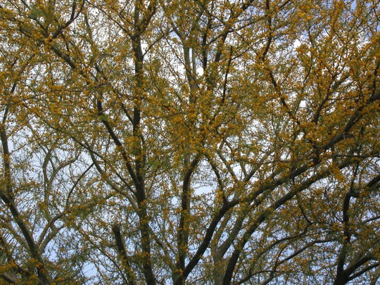 Acacia farn blooms