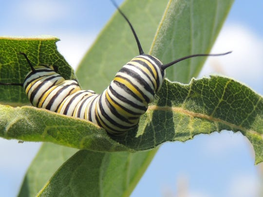 File: Monarch caterpillar.