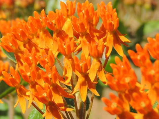 Orange milkweed, like all milkweeds, is an exceptional plant for pollinators, such as bees and butterflies. Of course, Monarch butterflies use milkweeds as a host plant for their caterpillars, as well.
