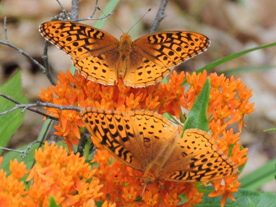 Orange Milkweed, also known as Butterfly Weed, has been named 2017 Perennial Plant of the Year by the Perennial Plant Association.