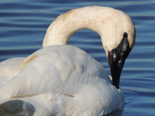APC zimmer nature swans lead.JPG