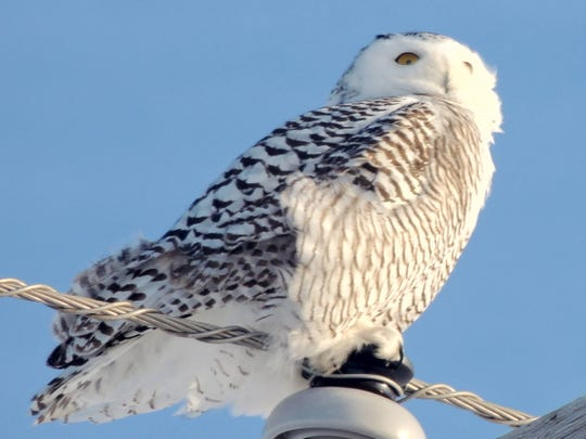 Snowy owls have begun to arrive in Wisconsin from the north. They are among the birds that draw onlookers during the winter season in east-central Wisconsin.