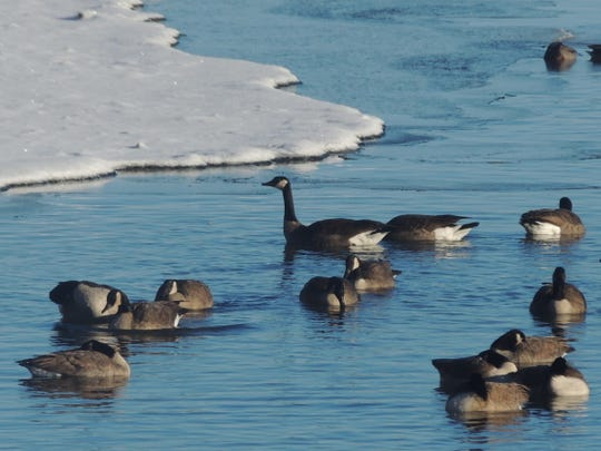 Lack of substantial snow cover has made it an easy winter for Canada geese that have remained behind along area waterways to tough out the winter season.