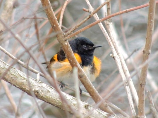 The beloved American Redstart is a tiny, colorful bird in black and reddish orange that announces his arrival in May with an explosive song and flamboyant, flashing tail.
