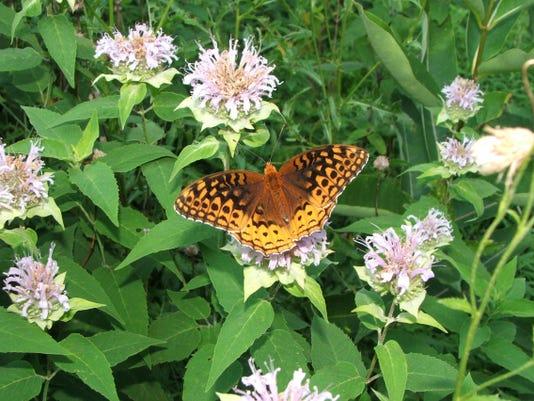 butterfly Fritillary1 PG.JPG