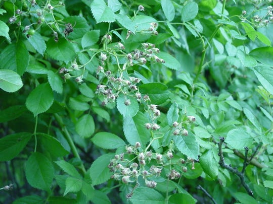 Multiflora rose is among the newly banned invasive