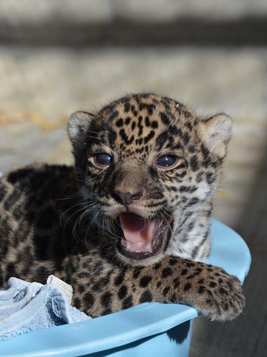 636222616540600217-Jaguar-Cub-The-Living-Desert-2-.jpg