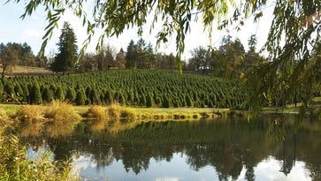 Where to get you-cut Christmas trees in Salem area